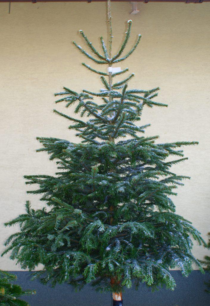 Choinki żywe cięte na Boże Narodzenie