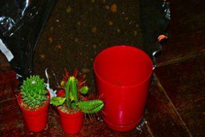 Sadzenie kaktusów poradnik