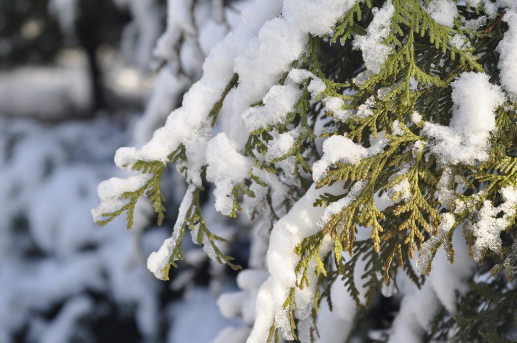 Usuwanie śniegu z gałęzi drzew i krzewów