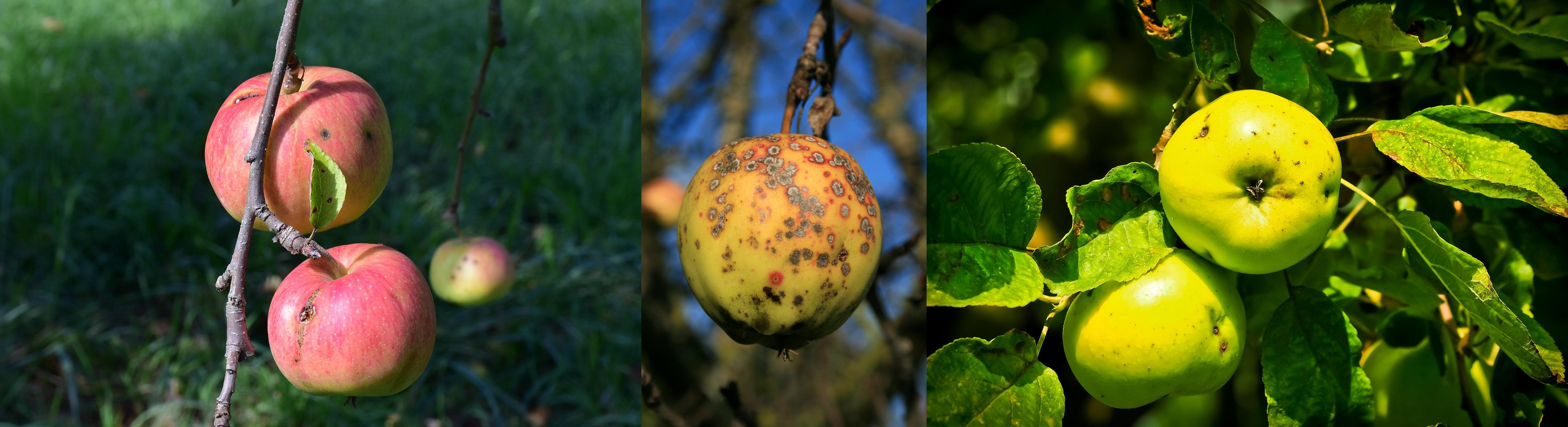Choroby grzybowe jabłoni