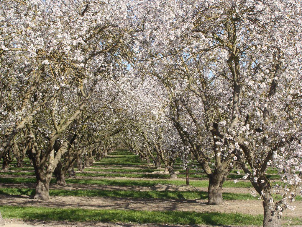 Pięknie kwitnące drzewa owocowe