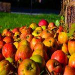 Powrót starych odmian jabłoni
