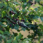 Świdośliwa – wyjątkowa roślina do ogrodu