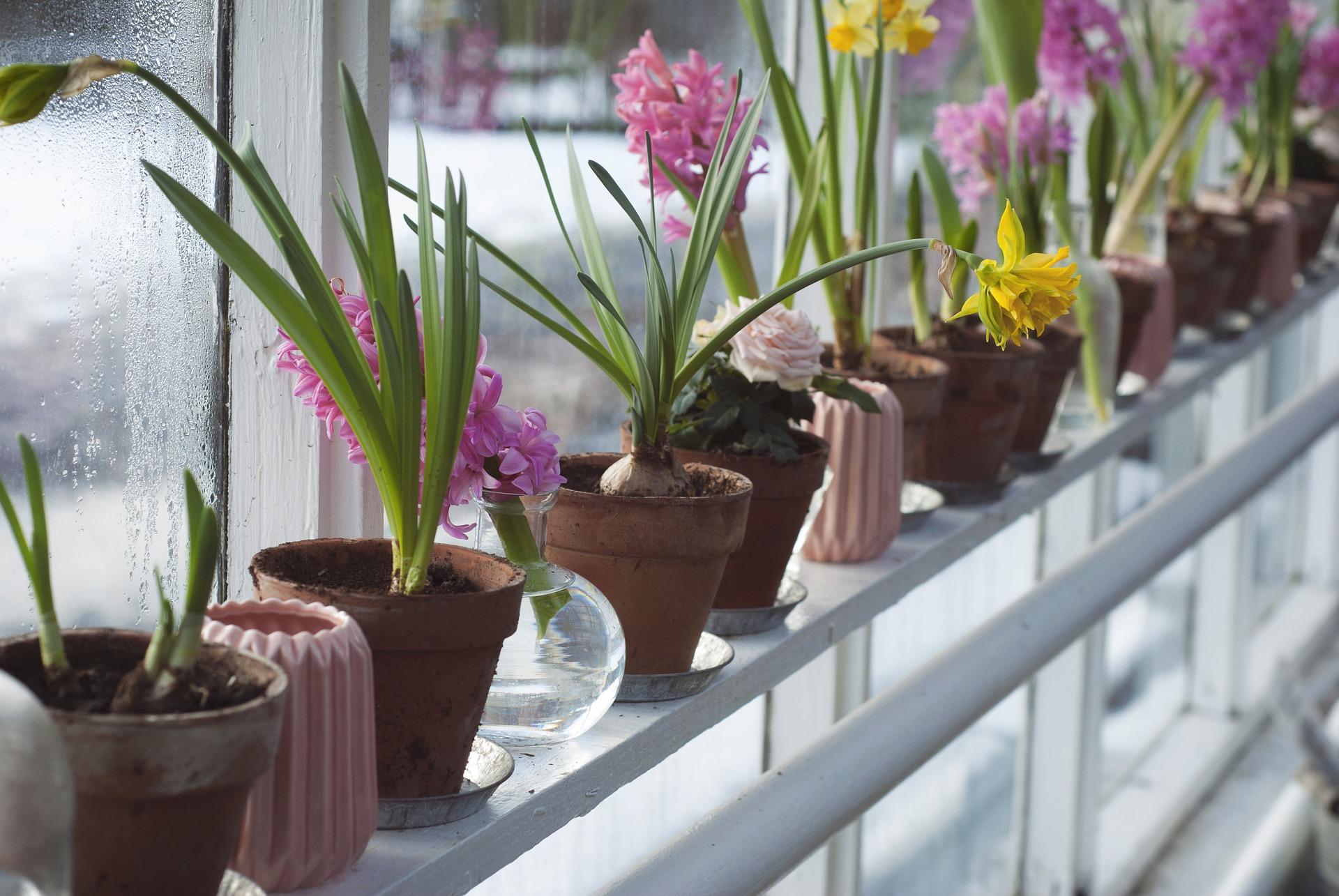 Rośliny Cebulowe Kwitnące Wiosną W Co Zielona Oaza