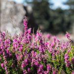 Wrzosy w ogrodzie – piękne i romantyczne