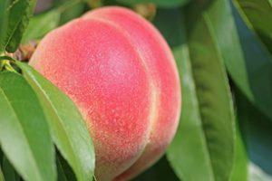 Odmiany brzoskwiń – jakie sadzonki wybrać?
