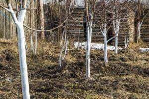 Bielenie drzew owocowych – poradnik